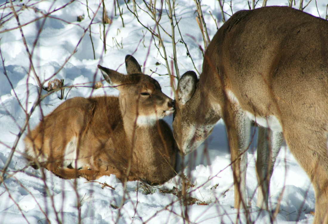 White Tail Doe and Fawn