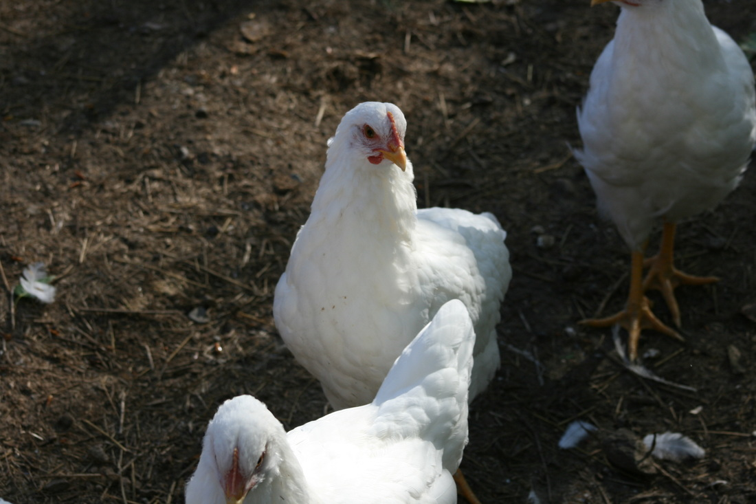 Dos Cabras White Plymouth Chickens