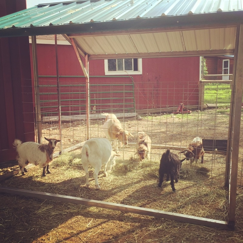Dos Cabras Ranch Fainting Goat Herd