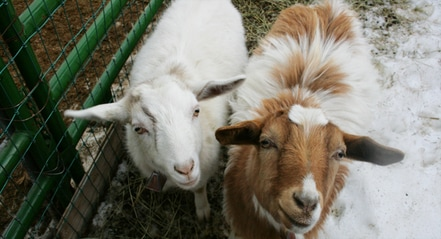 Genesis Acres Lucy and Billy-Myotonic Fainting Goat Twins